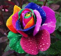 The artificial looking roses are in fact natural. These were designed and developed by Peter van de Werken in 1993 in his private botanical garden. These are grown by inserting the stem of a rose into various liquid colors .