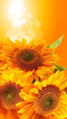 iPhone 6 Flower HD Wallpaper - Sunflower at Morning Sunflower Jewelry, Sunflower Art, Happy Flowers, Beautiful Flowers, Nature Wallpaper, Wallpaper Backgrounds, Screen Wallpaper, Wallpaper Quotes, My Flower