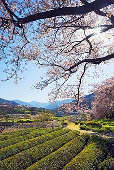 Spring blossom and tea plantations, Jirisan National Park, Gyeongsangnam-do, South Korea, Asia