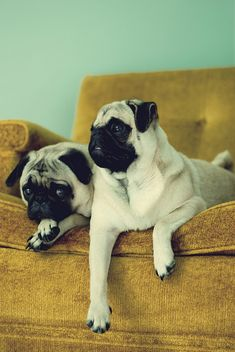 {Olive & Razzy} pocket full of pretty's pugs. Omg cute pugs & such cute names for pugs! Yorkies, Cute Pugs, Cute Puppies, Pug Love, I Love Dogs, Cute Baby Animals, Funny Animals, Raza Pug, Amor Pug
