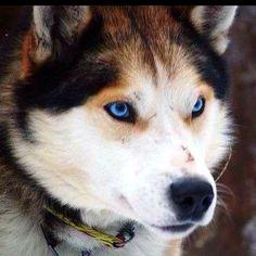 Wolf husky hybrid, beautiful dogs