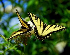 Two Yellow and Black Swallowtail Butterflies