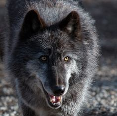 Zephyr is one of the ambassador wolves at the Wolf Conservation Center.