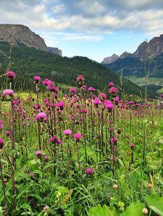Thistle, Purple, Nature, Flower, Plant, Green, Wild