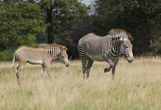Enciclopedia animal | Animales de la selva - Cebra de Grévy o cebra real