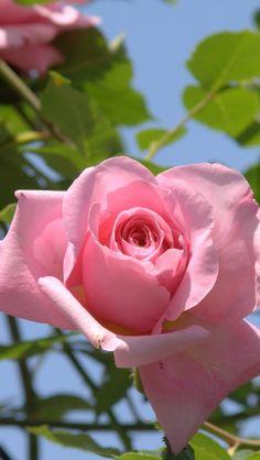 roses, flowers, sky, garden, sun, leaves