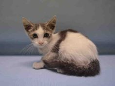 LORREX - A1090205 - - Manhattan  *** TO BE DESTROYED 09/24/16 *** FOUND NEAR A HYDRANT…How he got there we don't know…..but he is a sweet little fellow!!….A volunteer writes: My name is Lorrex, and I'm an 8 week old baby boy. I may be a little guy, but I have a very big voice. I love to meow and let my human friends know that I'm happy to see them and that I would like some attention. One of my favorite things is head scratches. Those make me pur