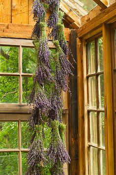 Drying lavender bunches upside down in a warm, dry room. #LavenderLover