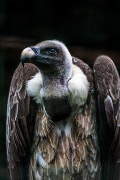 Griffon Vulture by icypics