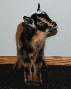 Nigerian Dwarf Goat aww look at it ;)