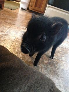 A mini pig at home- blog