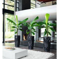 bananenplant 1 in grote zwarte pot - Google zoeken