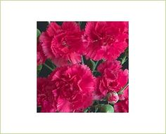 Barbara Hot Pink - Mini Carnation - Carnations - Flowers by category | Sierra Flower Finder