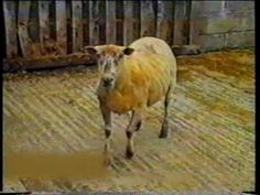 v  Scrapie Clinical Signs in Sheep Goats 1 - YouTube