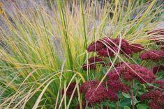 Eine tolle Pflanze für Ihren Garten:  das Lampenputzergras gedeiht gut fast überall - http://wohnideenn.de/gartengestaltung-und-pflege/08/tolle-pflanze-lampenputzergras.html #GartengestaltungundGartenbau