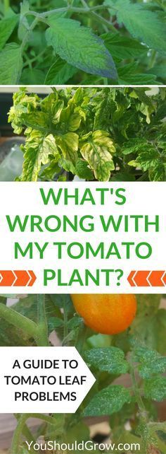 Why are your tomato\'s leaves yellow, spotty, or wilted? Homegrown tomatoes at home can suffer from a variety of pest and disease issues. If you\'re wondering, \