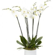White Treble Orchid - Three double orchids in a beautiful large white planter (also available in other colours on request)