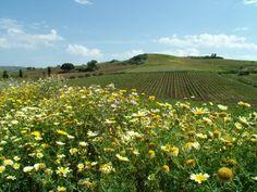 Daisies and vineyards close to Alcamo http://www.dreamsicilyvillas.com/