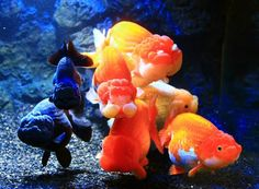 Beautiful fish nice picture of group of fancy Goldfish. Lionhead Goldfish, Oranda Goldfish, Goldfish Aquarium, Black Goldfish, Goldfish Care, Koi Fish Pond, Fish Ponds, Colorful Fish, Tropical Fish