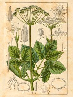 Vuohenputki (Aegopodium podagraria) | Olemme puutarhassa