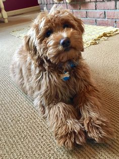 Macy 4 month old Mini Goldendoodle Goldendoodle Full Grown, F1 Mini Goldendoodle, Mini Bernedoodle, Labradoodle, Cavapoo, Baby Animals, Cute Animals, Kitten Love, Cute Friends