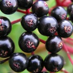 Foraging for Wild Berries – The Elder berry