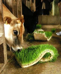 A US Dairyman feeding sprouted barley grass at only 1% body weight (recommended 3%), reported the following results: ·100% Higher conception rate (28% vs. 14%) ·85% conception rate in one month (20 of 23 cows innoculated on 1st attempt) ·75% Lower involuntary cull rate (4% vs. 16%) ·Virtually eliminated acidosis and laminitis ·Eliminated veterinary bills ·No longer use of any copper sulfate