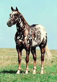 Appaloosa Quarter Horse. I don't usually like appaloosa's, but this one is gorgeous!