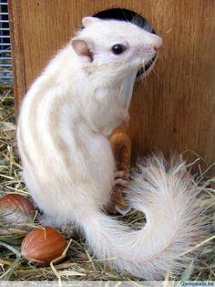 white chipmunk - Google Search