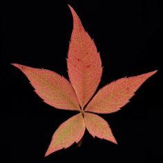 Wine leave Weinblatt Herbst Autumn Leaf Tattoos, Leaves, Ornaments, Plants, Autumn, Flora, Christmas Decorations, Plant, Embellishments
