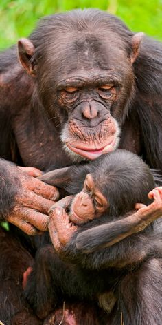 Male chimp and baby - so much tenderness...