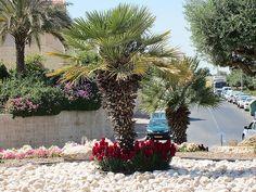 Maale Adumim, Israel - Public Landscaping, 06 neighborhood (צמח השדה), snapdragons, desert fan palm (ושינגטוניה חוטית)