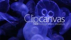 Many blue glowing jellyfish moving in the dark blue water. HD Stock Footage Clip. Close-up. 2016-01-13.
