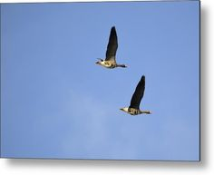 Greater White-fronted Geese Metal Print by Bonfire #Photography