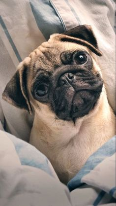 Pug; Dog; Animal; Pet; Funny Dog; Pug Picture;Cute Dog Cute Baby Animals, Funny Animals, Animals Dog, Funniest Animals, Pugs For Sale, Pug Wallpaper, Baby Pugs, Cute Dogs And Puppies, Pug Love