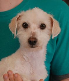 Pistol is a charming boy who loves to dance.  He is recovering well from severe neglect.  Pistol is a Toy Poodle mix, 5 years of age, neutered, and good with other dogs.  We rescued this sweetheart from another shelter.