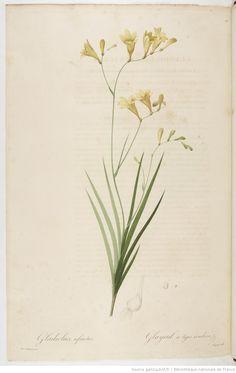 Les Liliacées. Tome 7 / , par P.-J. Redouté  Auteur :  Redouté, Pierre-Joseph 1813