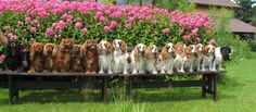 Cavalier King Charles Spaniel Family by Colour!