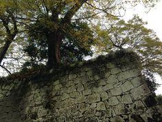 그 성 위에 자리잡은 고목 은행나무입니다. 오래된 은행나무가 많아 이곳을 은행나무성이라고도 부른다네요.