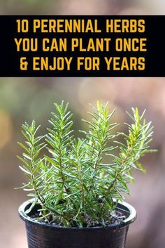 10 Perennial Herbs You Can Plant Once & Enjoy For Years - - Plant these herbs once and they'll come back every year meaning you can have an endless supply of nutritious and delicious fresh herbs all year long. Organic Horticulture, Organic Gardening, Vegetable Gardening, Growing Plants, Growing Vegetables, Growing Herbs Indoors, Gardening For Beginners, Gardening Tips, Flower Gardening