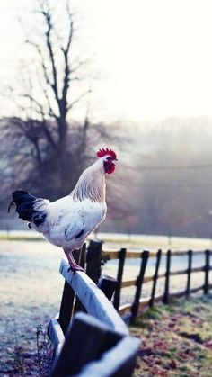 Rooster on a fence post - Early morning on the farm    ml