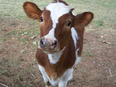 guernsey cow the best - Lanie Helena - Hotel Cute Creatures, Beautiful Creatures, Animals Beautiful, Vegan Animals, Farm Animals, Cute Animals, Guernsey Cow, Sweet Cow, Fluffy Cows