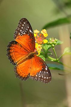 Red Lacewing. Simply Stunning.