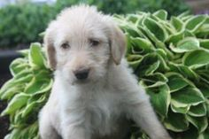 Labradoodle Puppies For Sale, Pennsylvania, Gap, Dogs, Animals, Animales, Animaux, Pet Dogs, Doggies