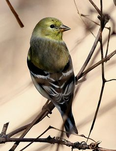 cool American Goldfinch images pictures