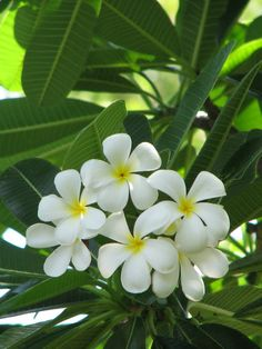 Plumeria obtusa (Singapore Graveyard Flower, Great Frangipanni) - via World of Flowering Plants Plumeria Flowers, Hawaiian Flowers, Tropical Flowers, White Flowers, Beautiful Flowers, Invasive Plants, Flowering Plants, Flower Pot Design, Different Plants
