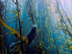 Harbor seal swims through an underwater kelp forest at Cortes Bank near San Diego, California photographed by Kyle McBurnie