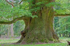 Oldest Oak Tree in America | 800 Years Old Oak Tree Photograph - 800 Years Old Oak Tree Fine Art ...
