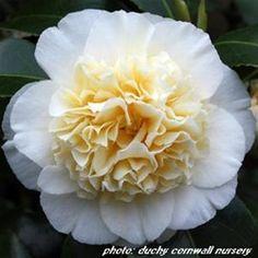 Camellia japonica 'Brushfield's Yellow'