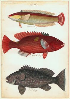James Barker Emery c.1794–1889. Sketches of Australian Fishes 1837–1841…